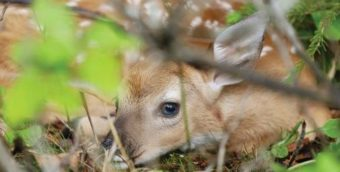 baby deer laying down