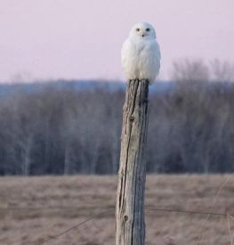 owl perched on pole